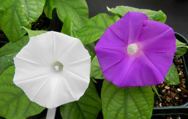 Flower colour ipomoea nil altered from violet to white by using crispr technology photo rebecca harcourt phd
