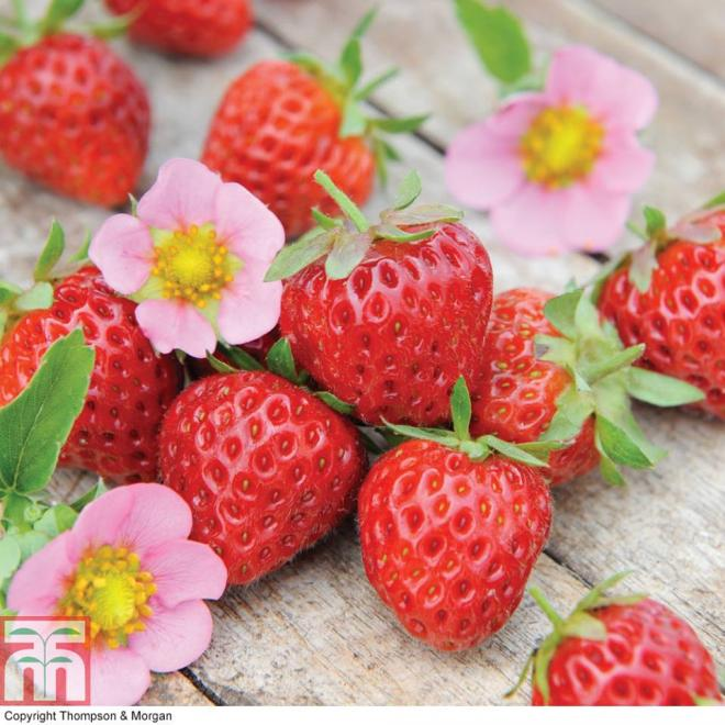 Fragaria x ananassa just add cream