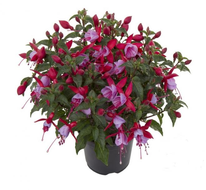 Fuchsia bella nikita photo hendrik young plants