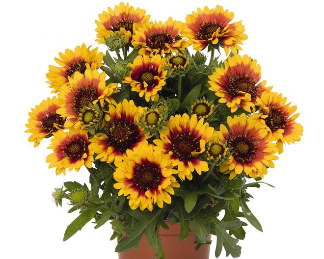 Gaillarda spin top red