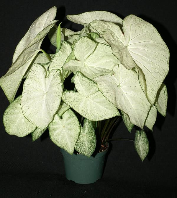 Garden white caladiums 1