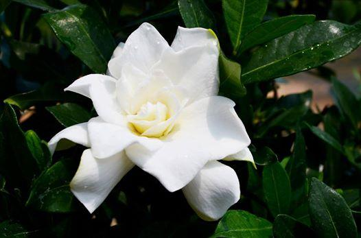 Gardenia first edition sweet tea