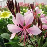 gaura-belleza-light-pink.jpg