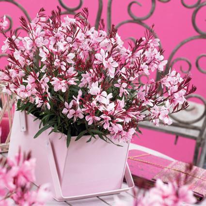 gaura-gaudi-pink3.jpg