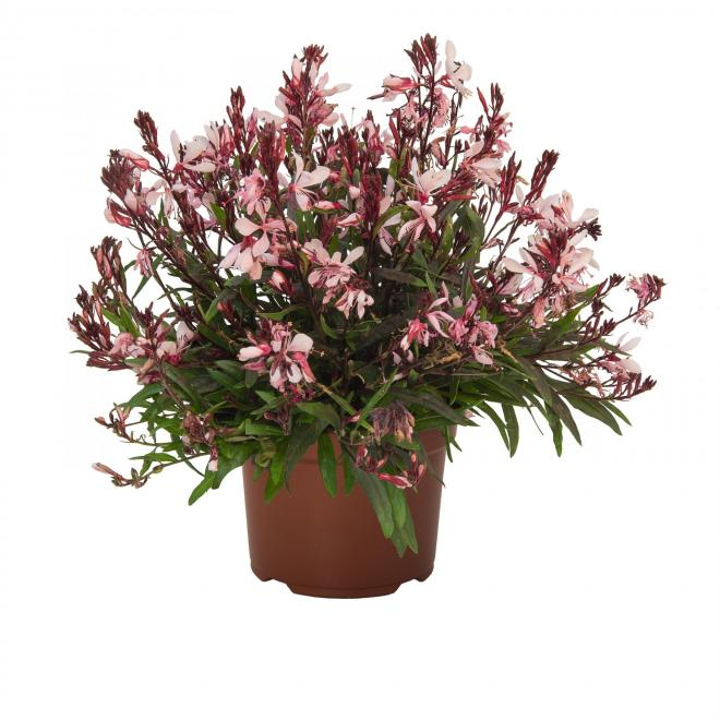 Gaura graceful pink photo dummen orange