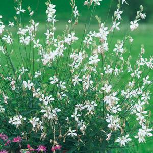 gaura-karalee-white.jpg