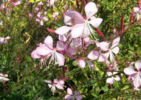 gaura-lindheimeri-geyser-pink-picotee-prschtkerue-sommerblume.jpg