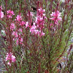 gaura-passionata-pink.jpg