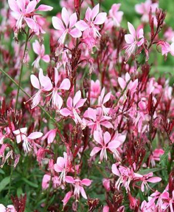 gaura-pink-cloud-2.jpg