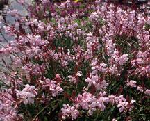gaura-pink-foutain.jpg