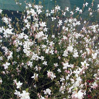 gaura-snow-fountain.jpg