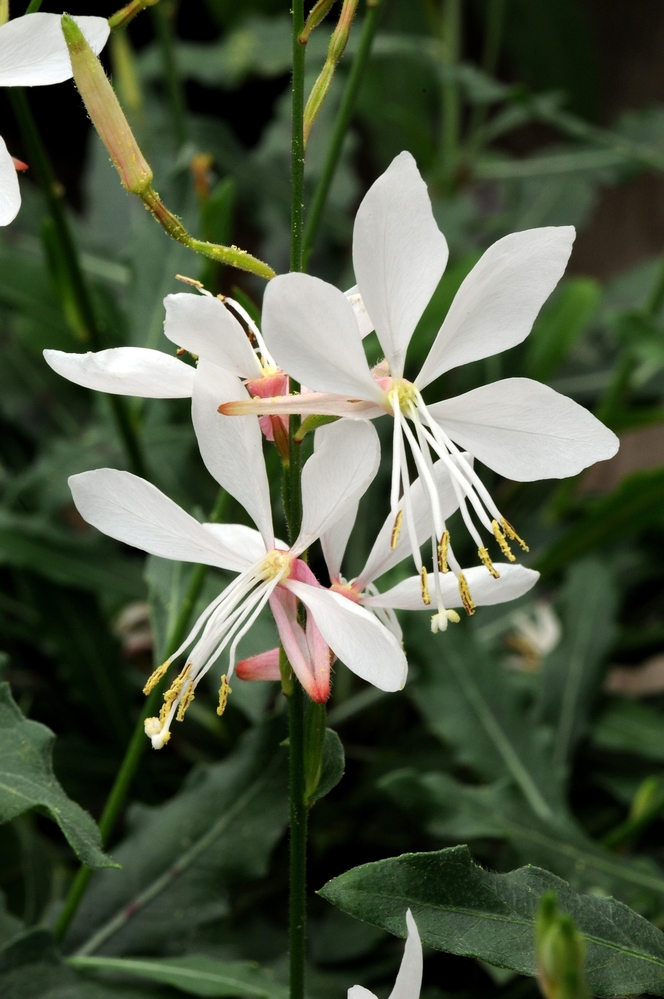 Gaura sparklewhite closeup reduced