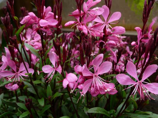 gaura-sunset-dream.jpg