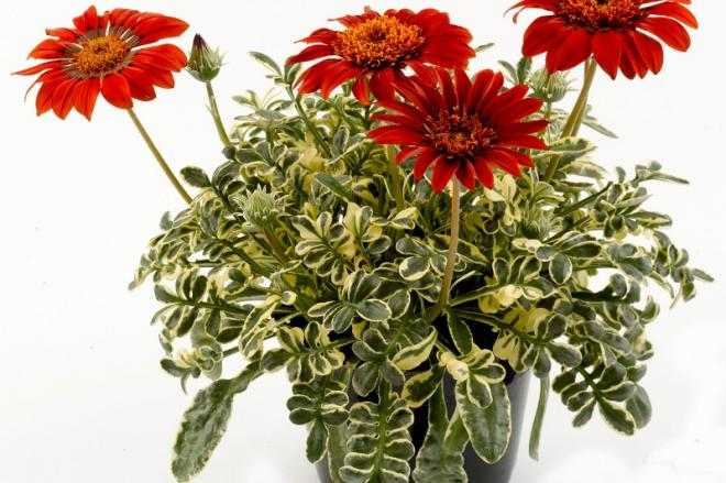 Gazania gazebra red 800x533