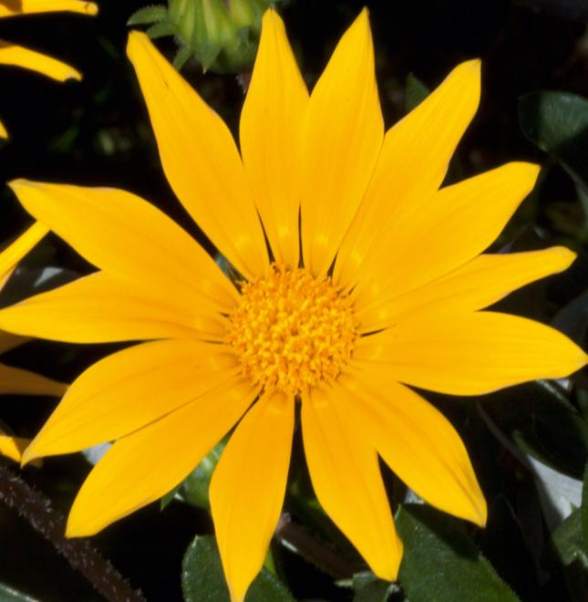 Gazania jupiter lemon
