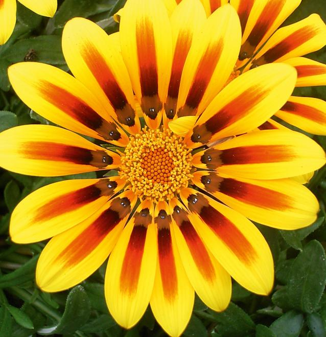 Gazania jupiter magic