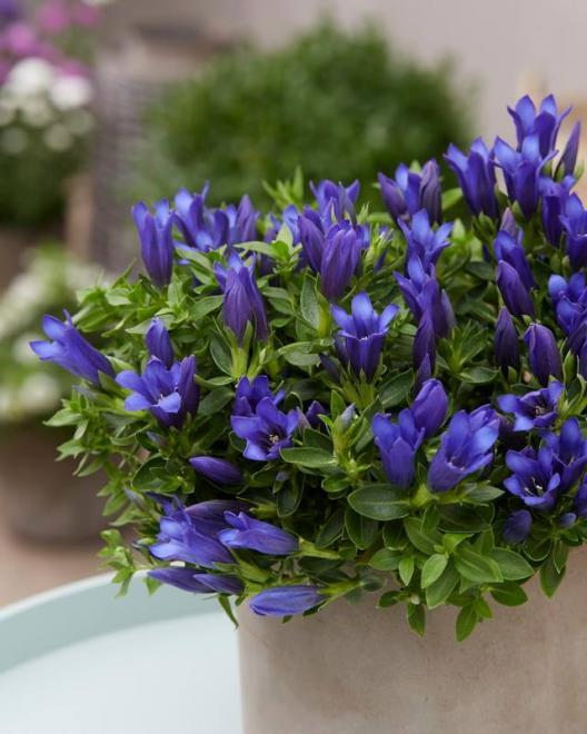 Gentiana shine blue ashiro