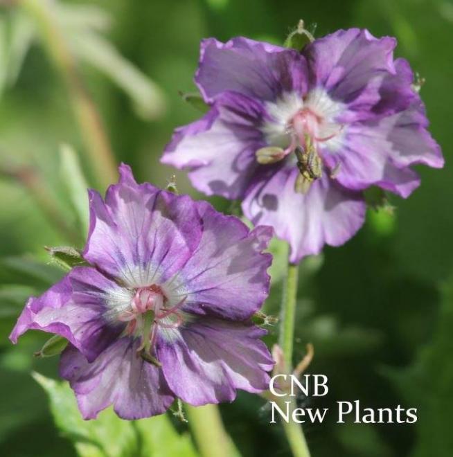 Geranium phaeum censation kora 2
