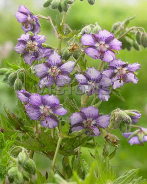 Geranium phaeum censation kora