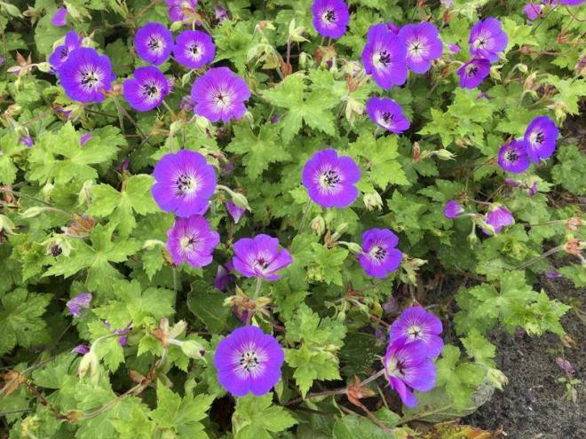 Geranium wallichianum dailly blue 2