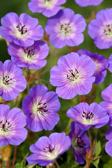 Geranium wallichianum dailly blue