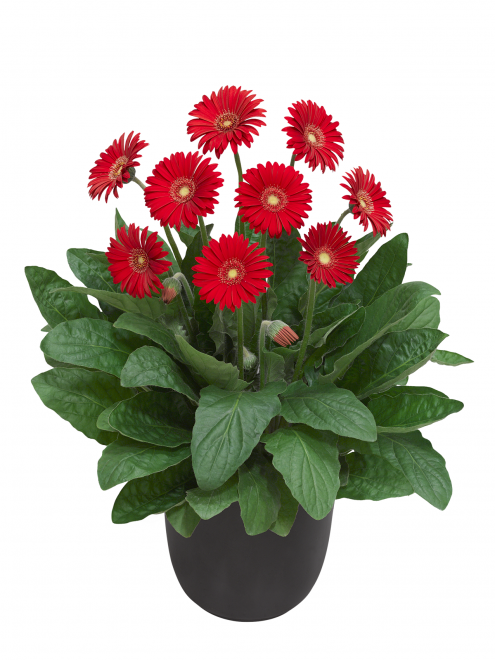 Gerbera garvinea sweet love photo florist holland