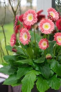 Gerbera garvinea sweet memories photo florist holland 3 200x300