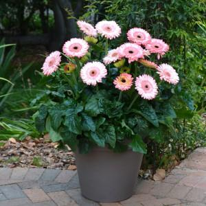 Gerbera patio fundy photo florist holland 2 300x300