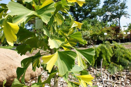 ginkgo-sunstream.jpg