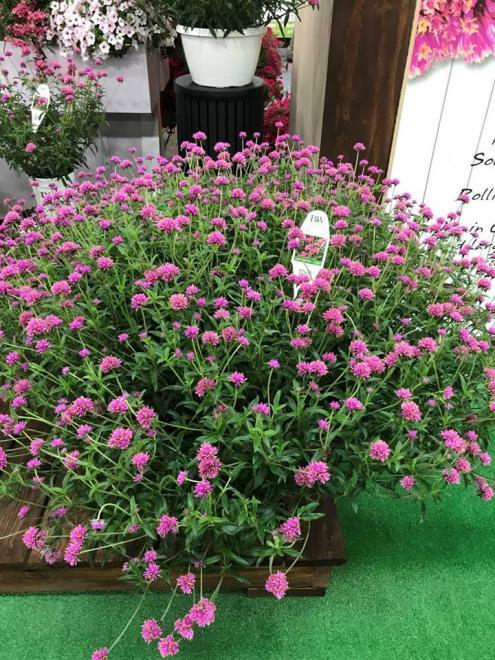 Gomphrena pulchella truffula pink 1