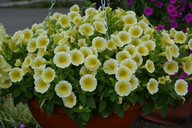 Grande 20150108110516 petunia blanket yellow en suspension au jardin botanique roger van den hende le 10 juillet 2014