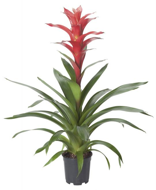 Guzmania rouche photo corn bak