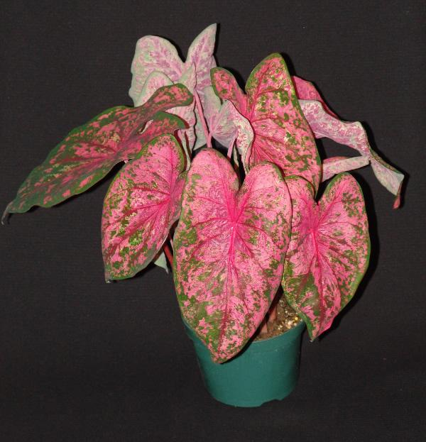 Gypsy rose caladium de 1