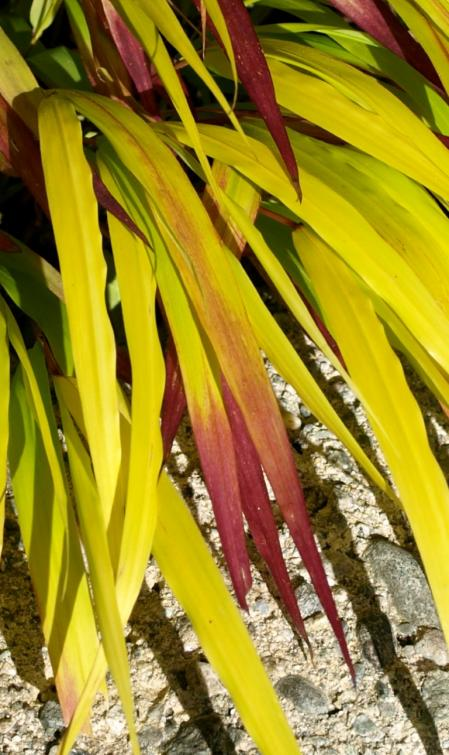 Hakoneckloa macra sunflare