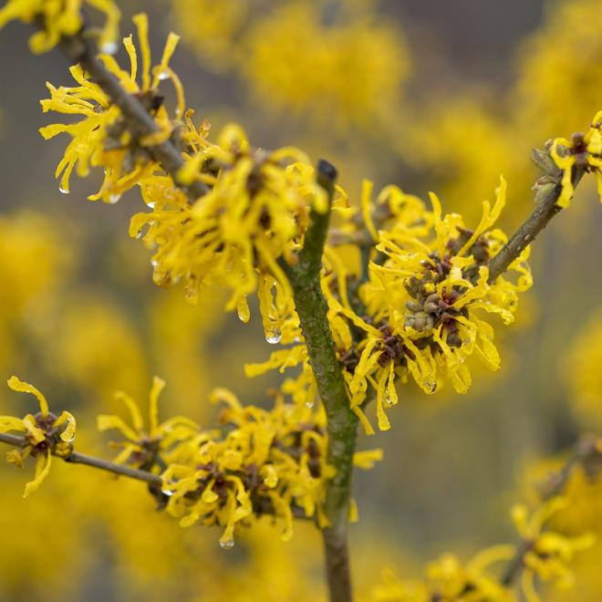 Hamamelis intermedia evi photo ronald houtman royal boskoop horticultural society