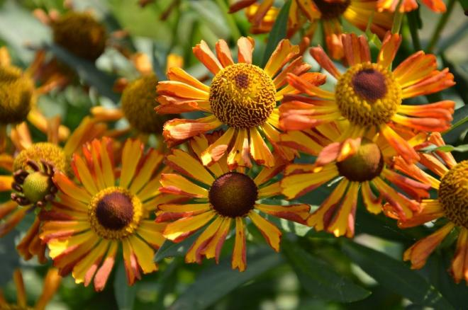 Helenium betty