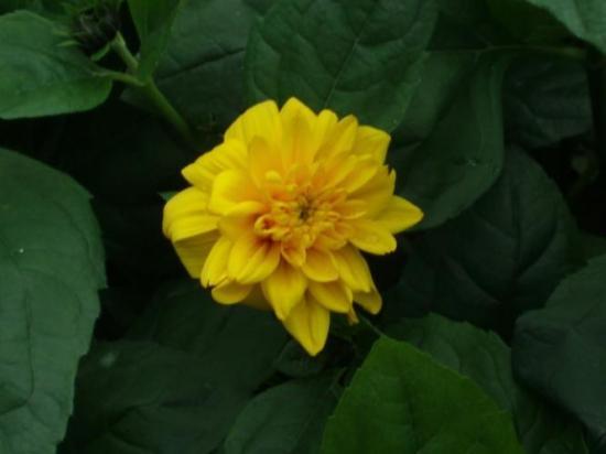 helianthus-decapetalus-soleil-d-or.jpg