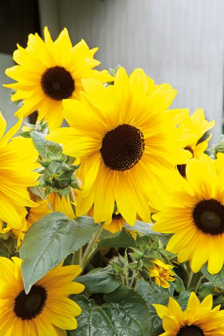 Helianthus sunfinity photo fleuroselect ii