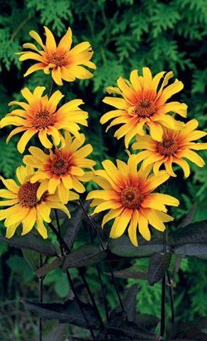 Heliopsis helianthoides scarbra burning hearts 1