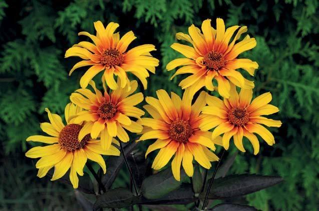 Heliopsis helianthoides scarbra burning hearts1 jpg 1