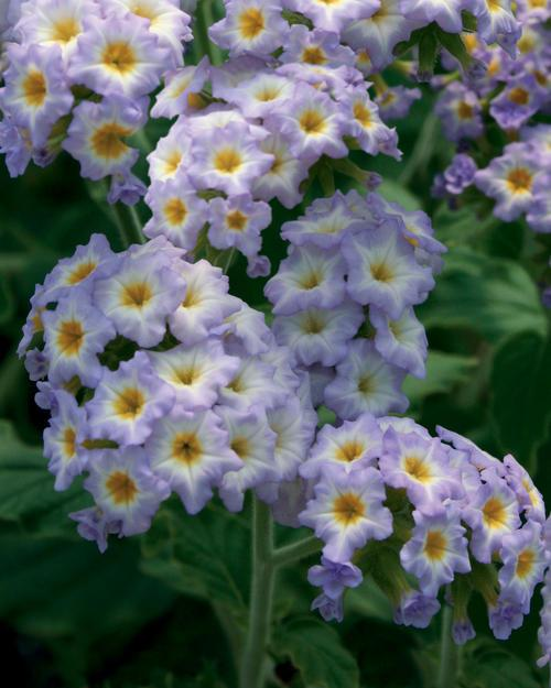Heliotrope simply scentsational