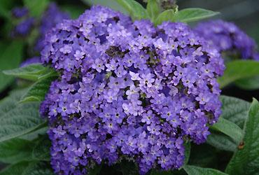 heliotropium-blue-bouquet.jpg
