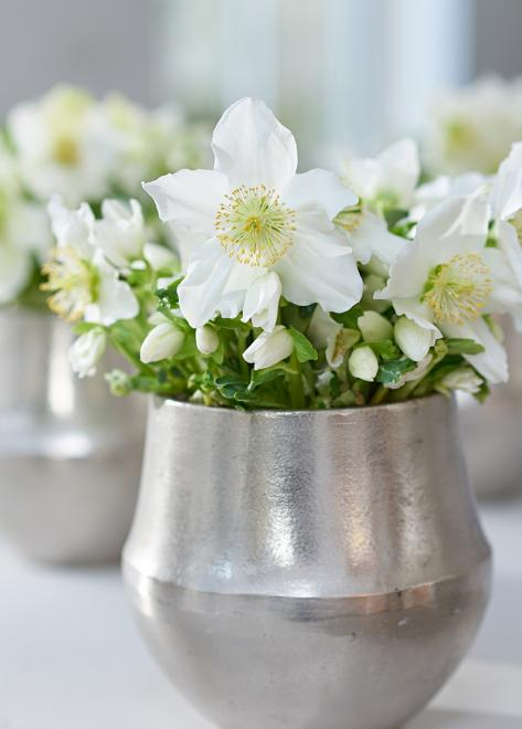 Helleborus snow crystal photo hilverdakooij