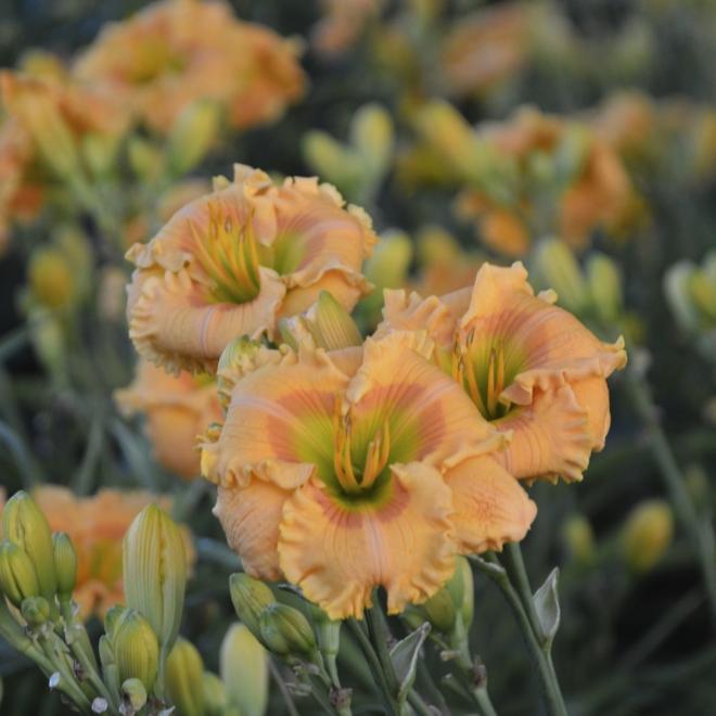 Hemerocallis orange smoothie photo walters gardens