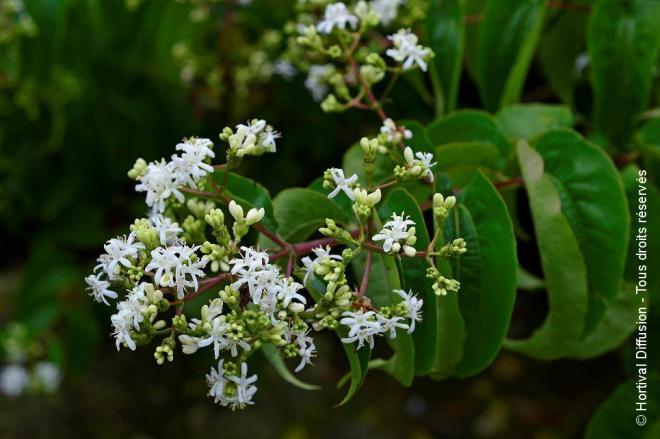 Heptacodium miconioides tianshan 2