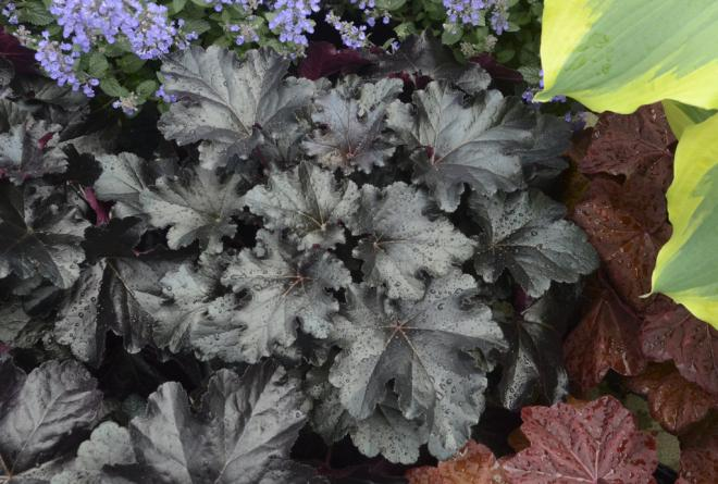 Heuchera black pearl cjw15 4