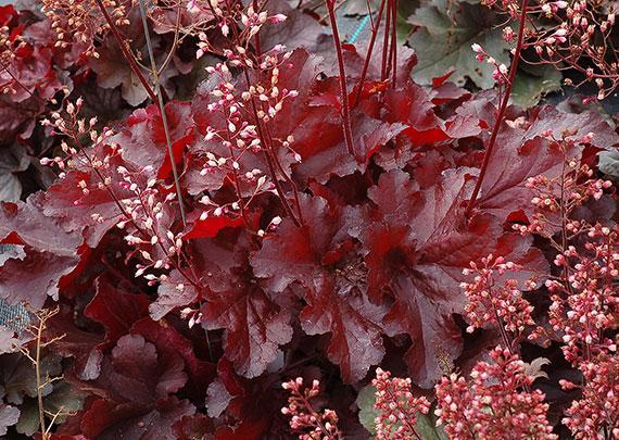 Heuchera forever red 2