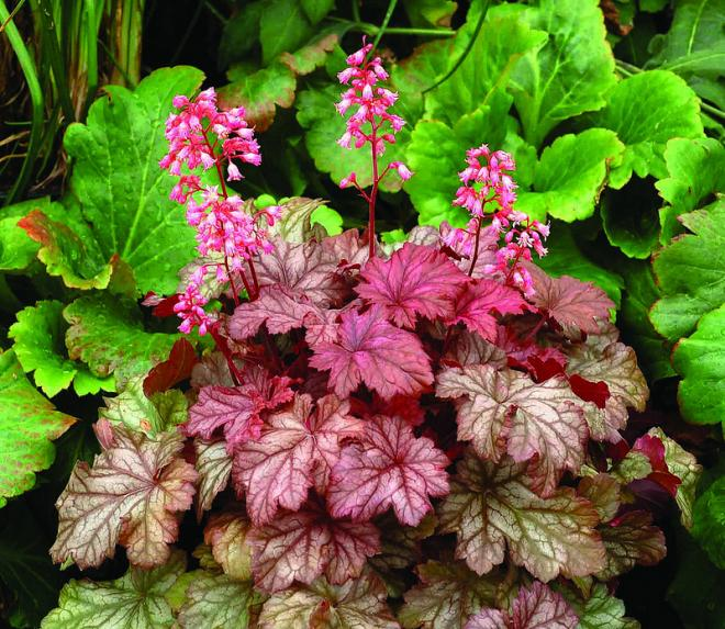 Heuchera ginger snap 2