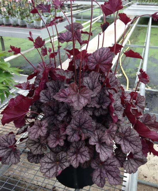 Heuchera guardian angel 2