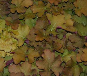 Heuchera harvest burgundy